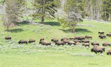 Bison herd Yellowstone National Park