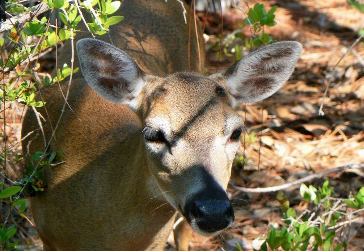Florida Key deer Key Deer Refuge