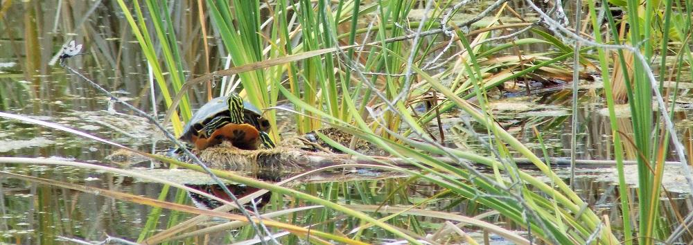 turtle at Key Deer refuge