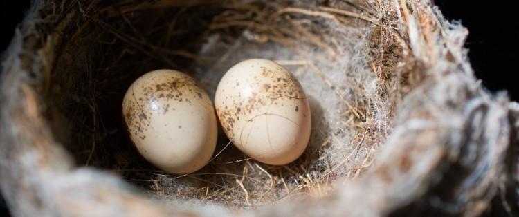 Nicholas_Wolff_willie wagtail nest__websiteOPT