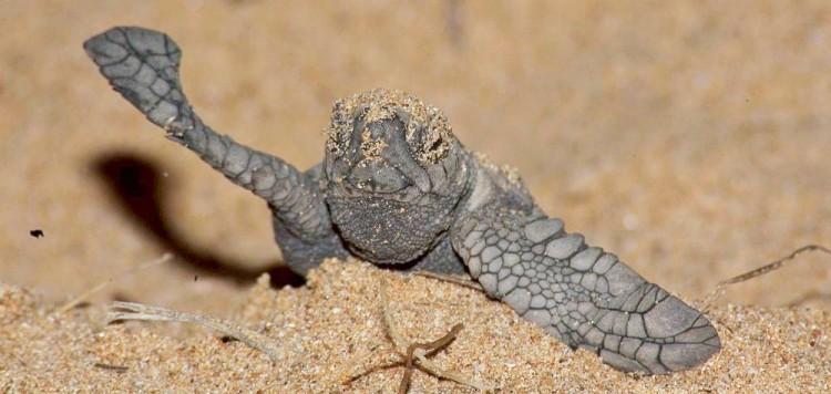 Turtle_hatchling_1