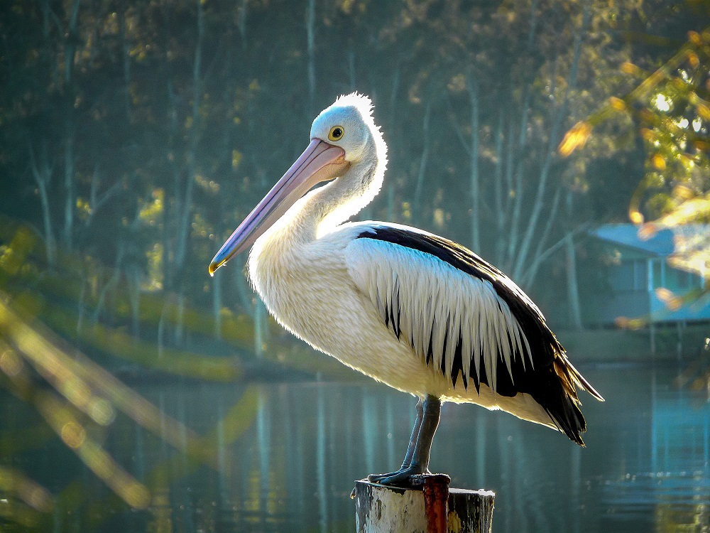 2ndprize_James_Chew_Early Pelican at Sussex Inlet_NSW_sml