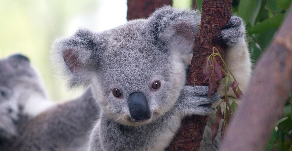 Save a koala month