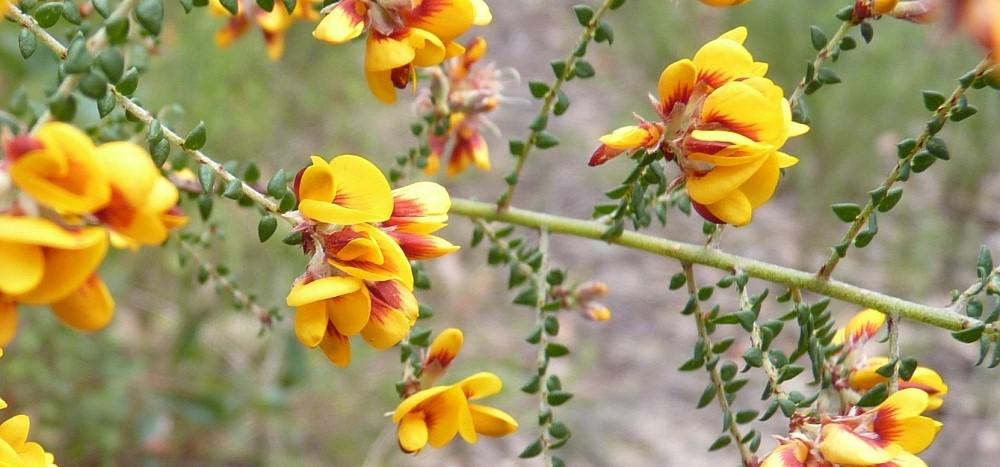 bush-pea-wildflowers
