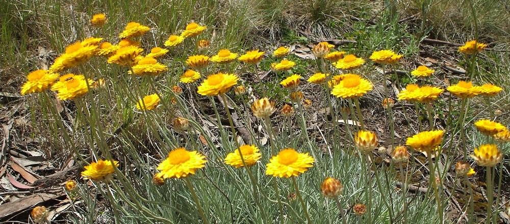 everlastings-wildflowers