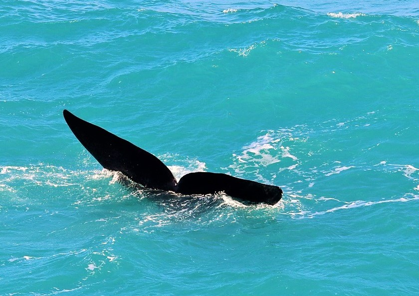 whale watching in fowlers bay in south australia