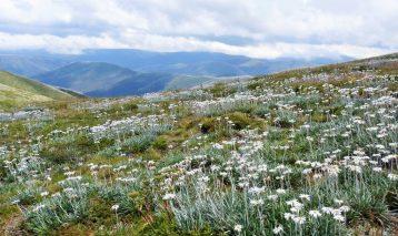 wildflower-carpet-of-alpine-daisies