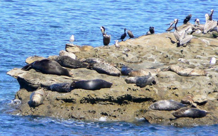 best wildlife viewing harbor-seals-and-pelicans-2