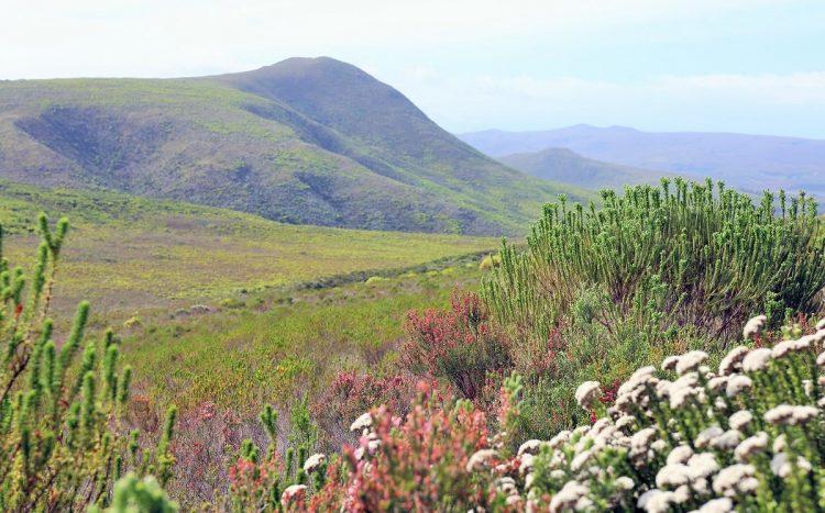 Walking in wildflowers at Grootbos