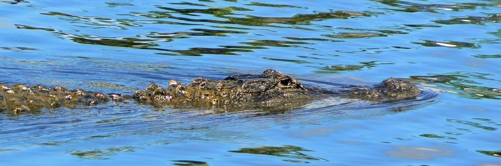 Alligator florida Key Deer Refuge