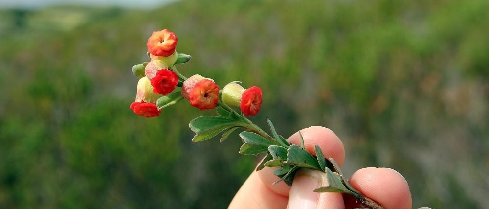 Hermania trifoliata's pretty pinwheel flowers