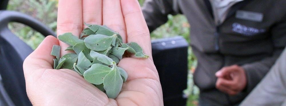 Salva africana-lutea (brown sage) leaves used in Grootbos toiletries