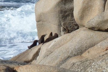 Fur seals on the rocks East Gippsland