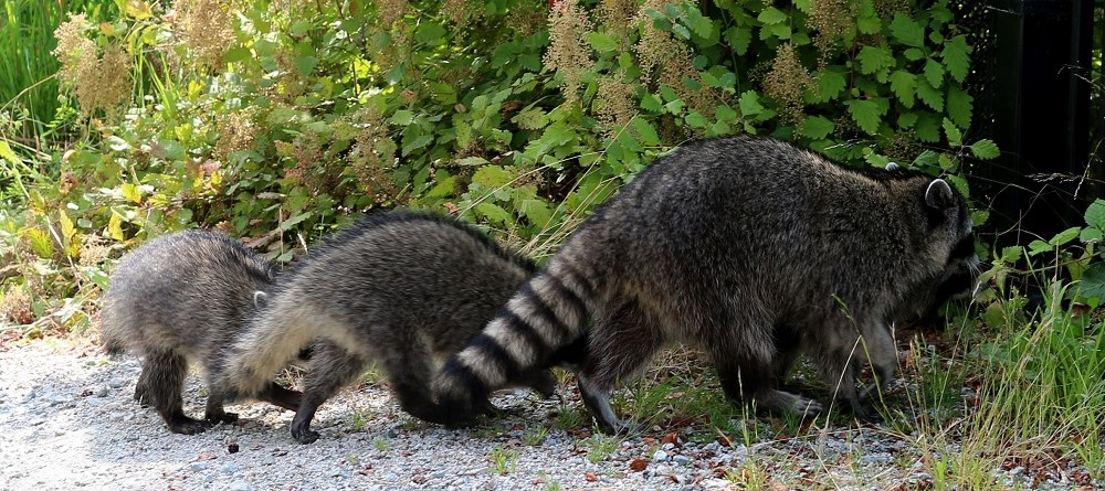 Raccoons go walkabout in Stanley Park
