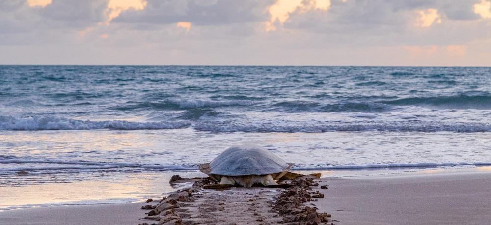 marine turtle mother