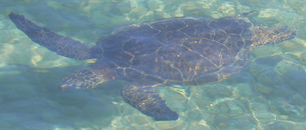 Green sea turtle swimming in lagoon Waikuloa Hawaii