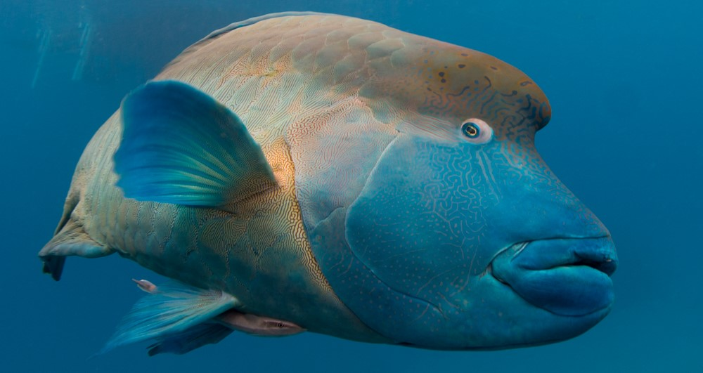 Wally the humphead wrasse 3 (2)