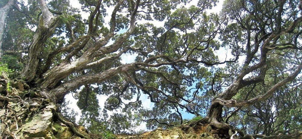 pohutukawa tree tiritiri