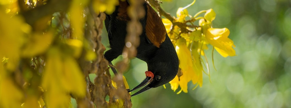 tīeke-(North-Island-saddleback)_Jonathan-Saunders-crop (2)