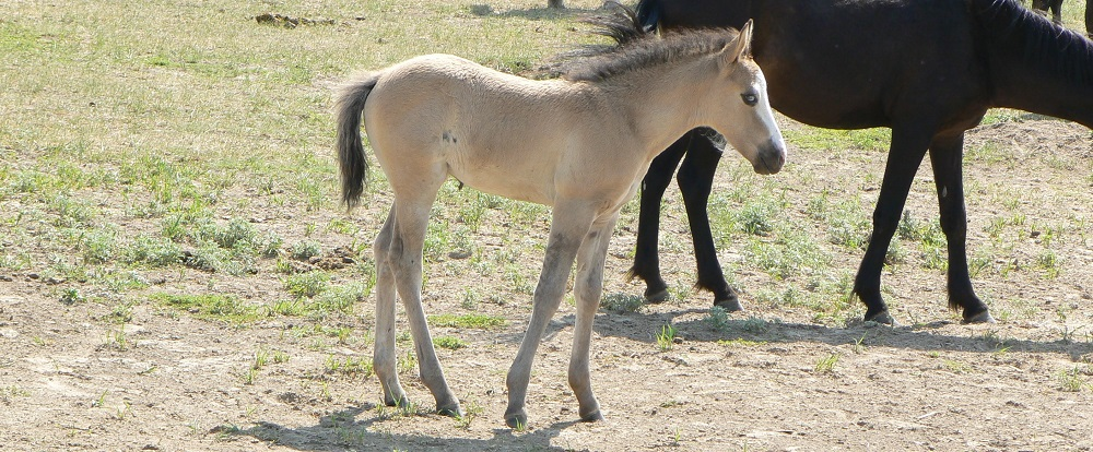Blue-eyed foal wild horse
