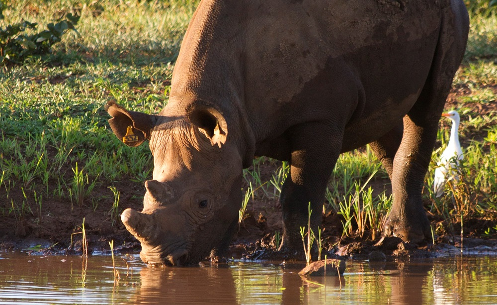 A black rhino protected by the IAPF